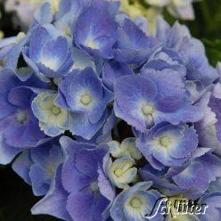 hortensien online kaufen 70 hortensien im angebot der hortensienkatalog auf. Black Bedroom Furniture Sets. Home Design Ideas