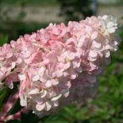 Rispenhortensie 'Vanilla-Fraise'. Die Blüte ist zunächst weiß, dann rosa und schließlich dunkelrot